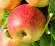 Uprawa i nawożenie jabłoni